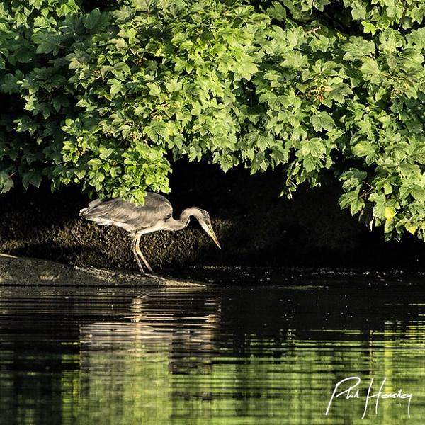 The Quiet Hunter by HemsleyPhoto