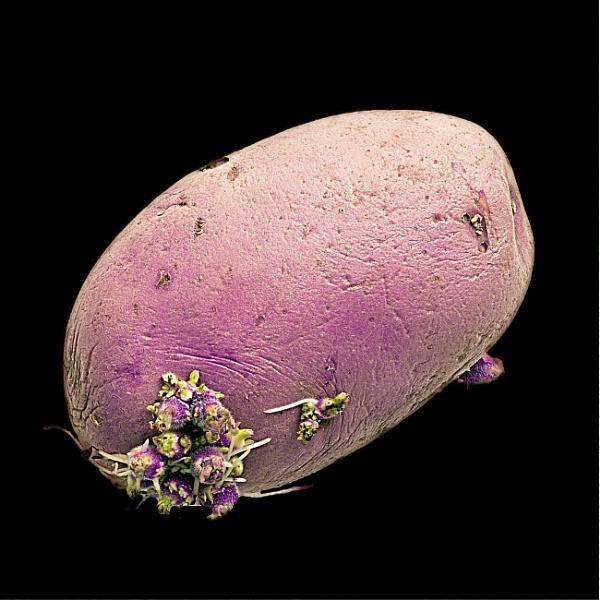 Potato by goong