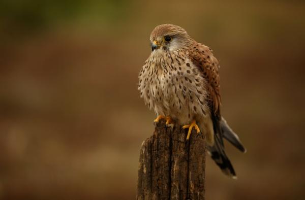 Kestrel amongst heathland by edward_payne_photography
