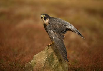Peregrine ready to take off