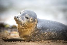 Seal on Scarborough Beach.