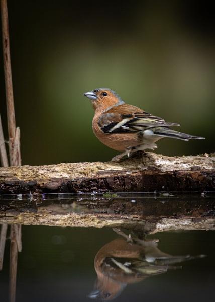 Chaffinch Reflected by photographerjoe