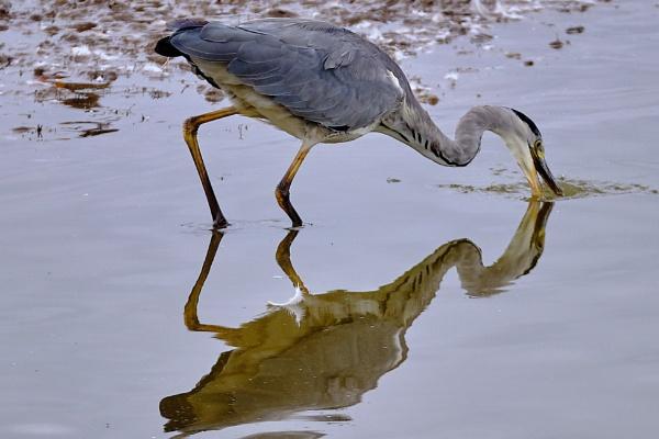 Grey Heron Fishing by photographerjoe