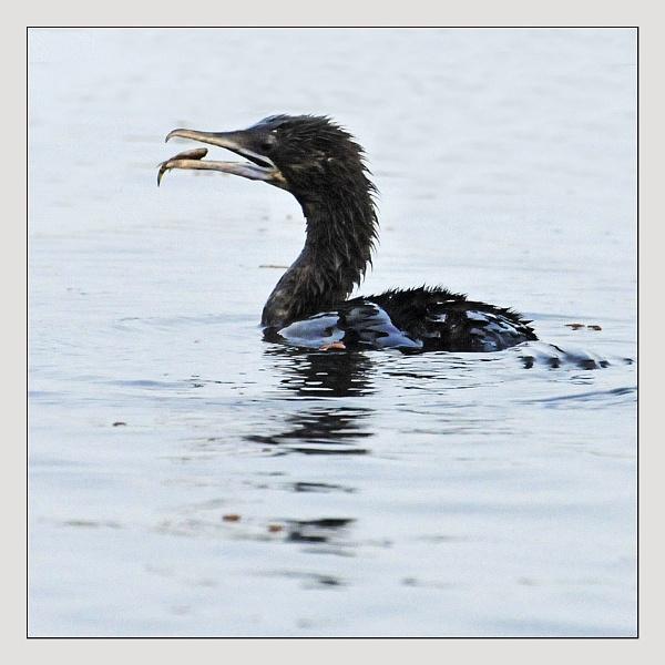 Cormorant by prabhusinha