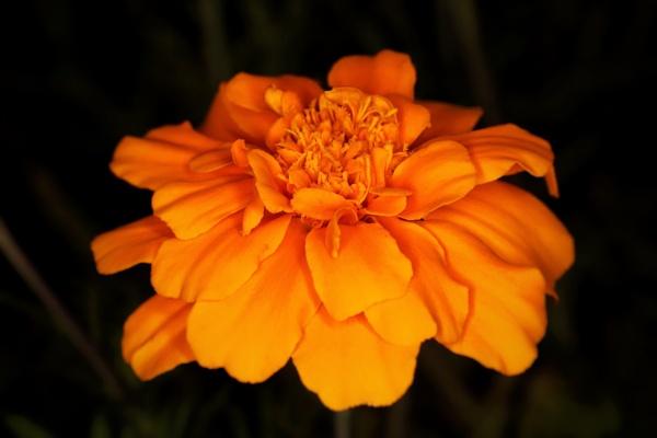 Marigold by Merlin_k