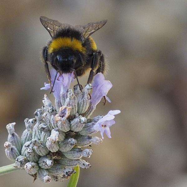 Feeding Bee by daffodil555