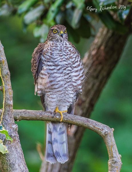 sparrowhawk by djgaryrichardson