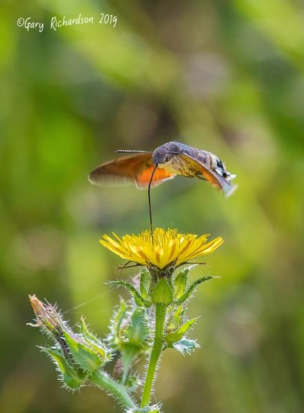 hummingbird hawkmoth by djgaryrichardson