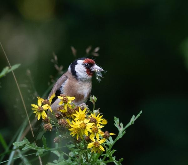 Goldfinch by jasonrwl