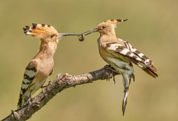 Hoopoe Food Pass