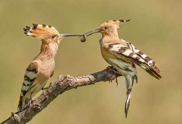 Hoopoe Food Pass by pdsdigital