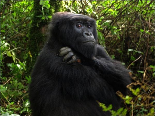 Gorilla in Rwanda by JuBarney