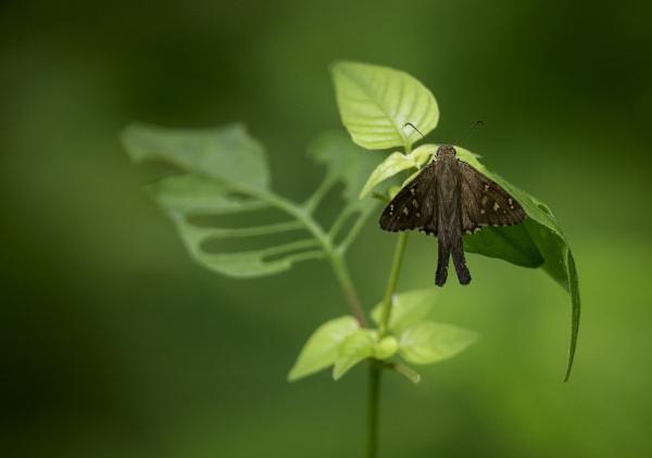 A humble skipper in a green jungle by annettep38