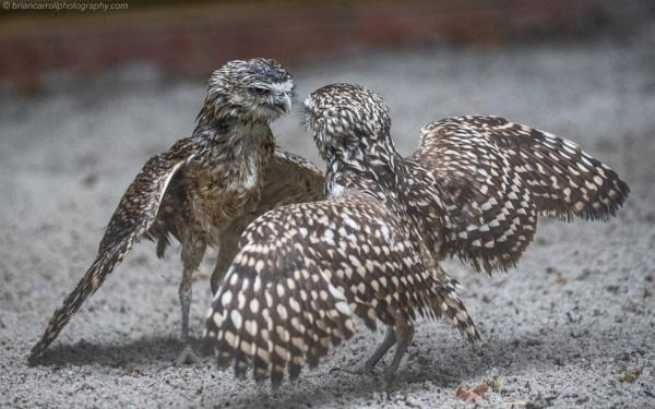 Burrowing Owls dancing in the rain by brian17302