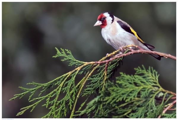 Goldfinch by TT999