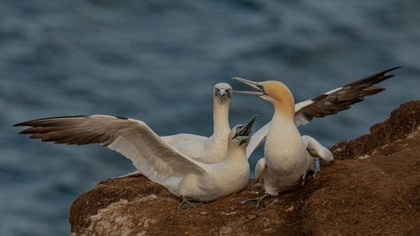 Argumentative Gannets by RobertTurley
