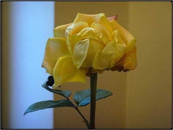 the yellow rose by FabioKeiner