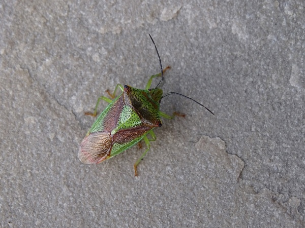 Shield Bug by Cephus