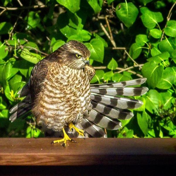 Sparrow hawk In Espoo by hannukon