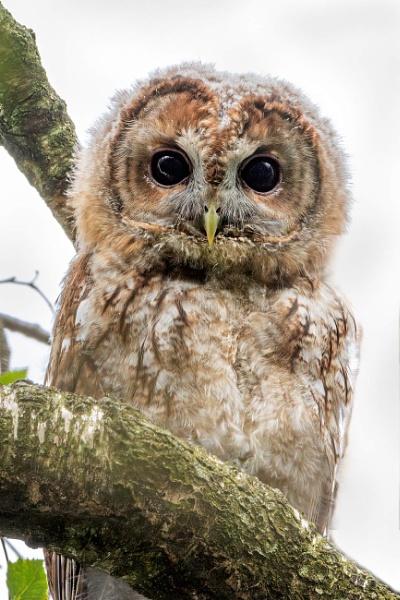 Tawny Owl owlet (Strix aluco) by DerekL