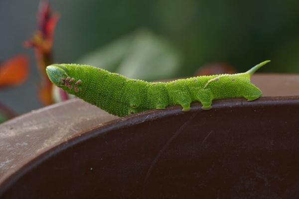 Lime Hawk-Moth Caterpiller by Oldgeezer70