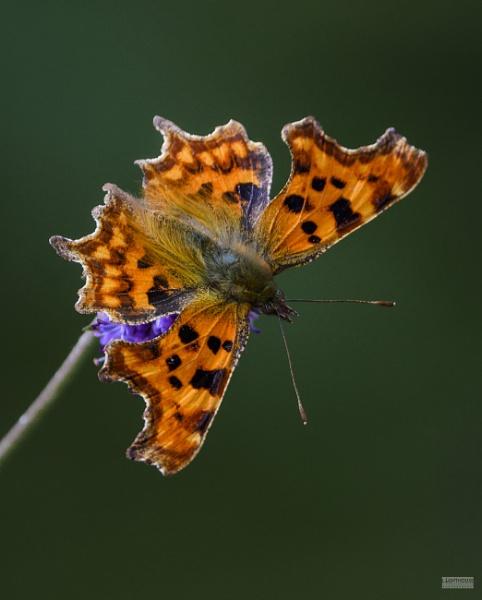 Comma Butterfly by LighthousePhotography