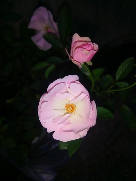 3 Pink by jkrix