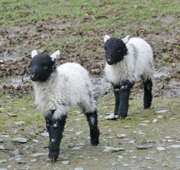 Lamb Duo. by Debmercury