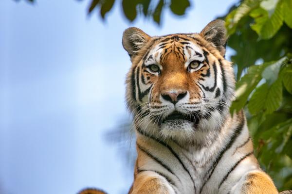 Siberian Tiger by spaldingd