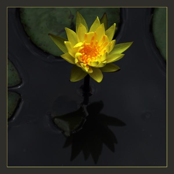 Yellow Lilly by prabhusinha