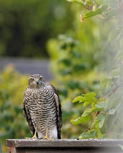 sparrowhawk by maratsuikka