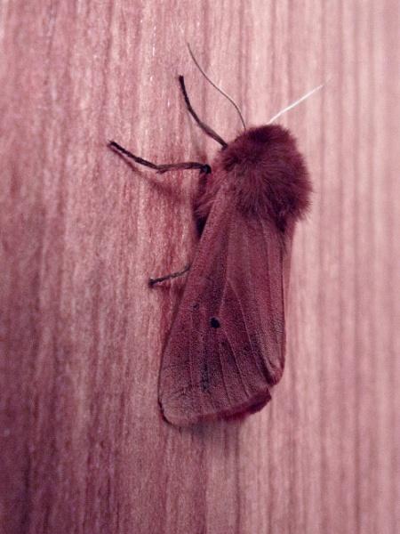 Ruby Tiger Moth by TonyDy