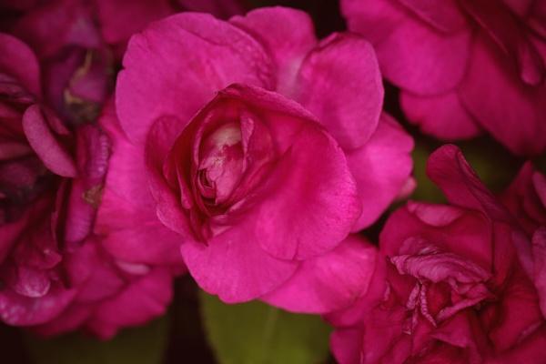 Evening Flower by Merlin_k