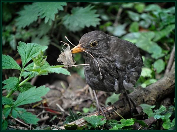 Foraging Blackbird by PhilT2