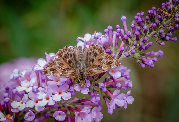 A Mallow skipper (I think) by chavender