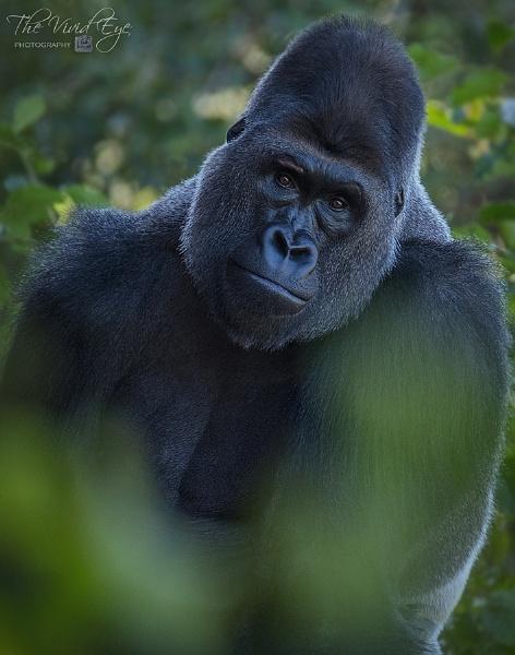 Western Lowland Gorilla by MartinWait