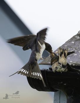 Swallow feeding a very late season fledgeling