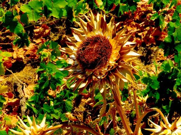 Ex Sunflower by ddolfelin