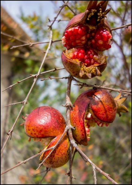 Pomegranates by bwlchmawr