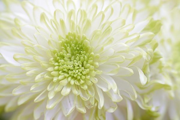 Chrysanthemum by deavilin