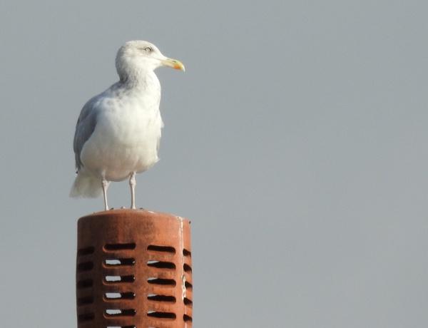Gull on chimney by DaveHoskins