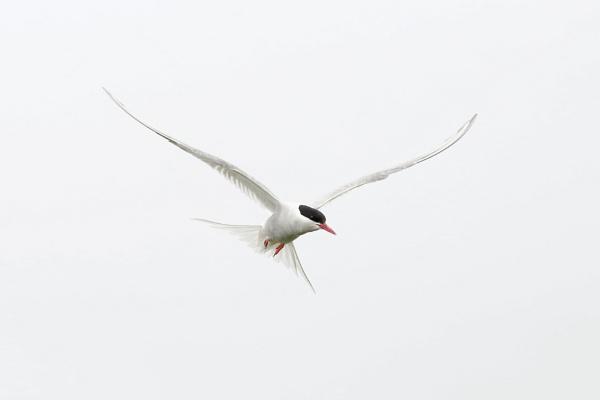 Arctic Tern by Steveo28