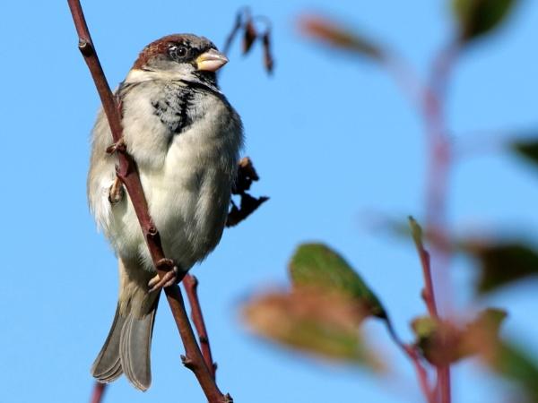 Sparrow by DerekHollis
