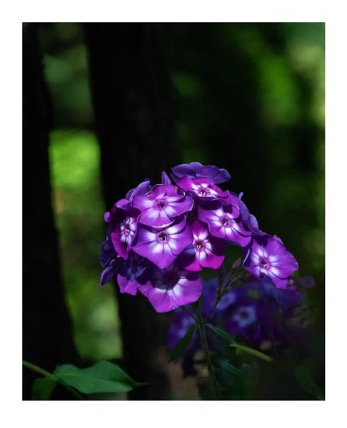 Garden Phlox by taggart