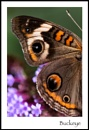 Wing Details:  Buckeye by taggart