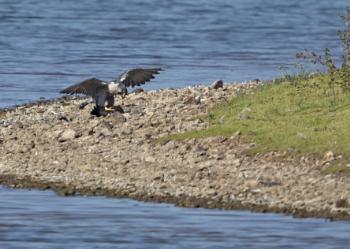 Peragrine falcon