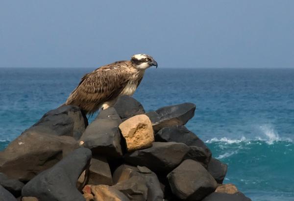 Resting Osprey by Madoldie