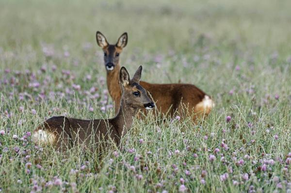 Roe Deer by Wanilson