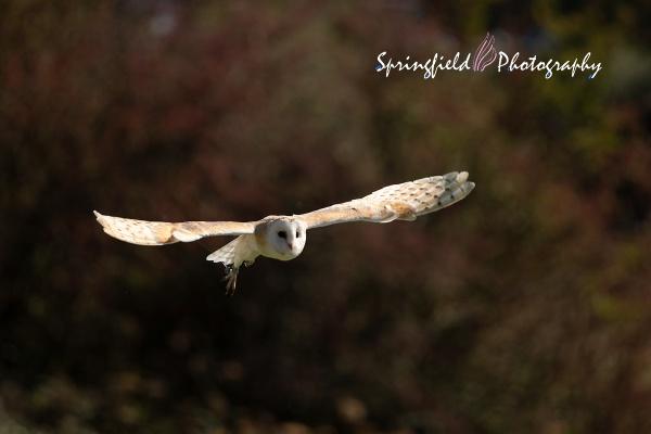 Barn Owl by springfieldphotography