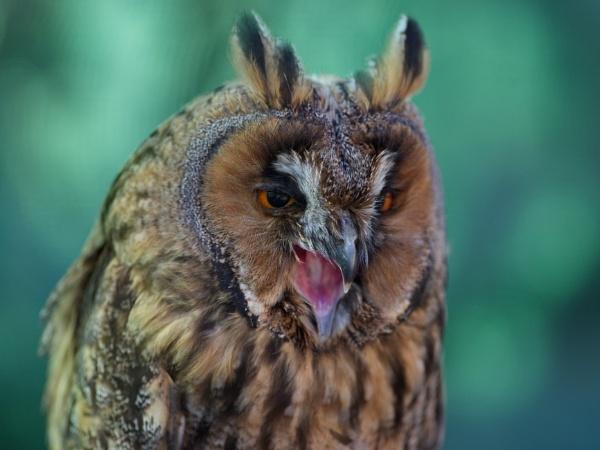 owl by alfpics